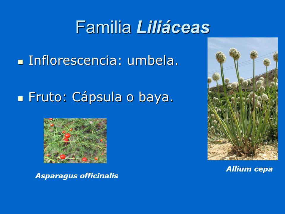 Familia Liliáceas Inflorescencia: umbela. Fruto: Cápsula o baya.