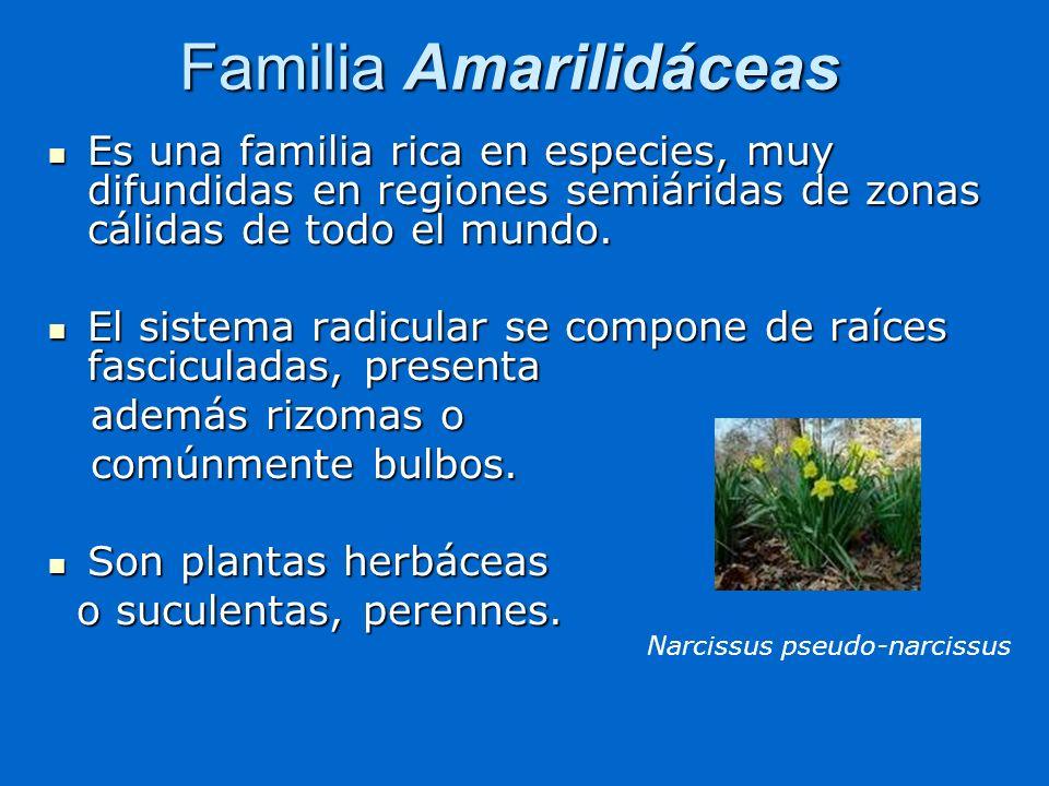 Familia Amarilidáceas