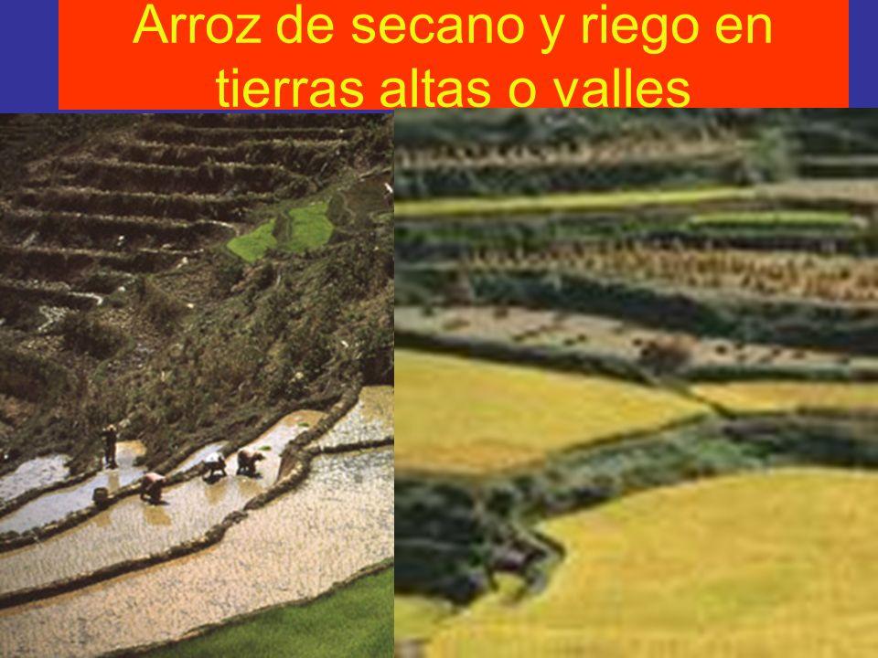 Arroz de secano y riego en tierras altas o valles