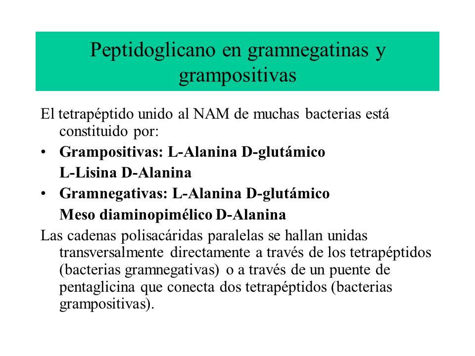 Peptidoglicano en gramnegatinas y grampositivas