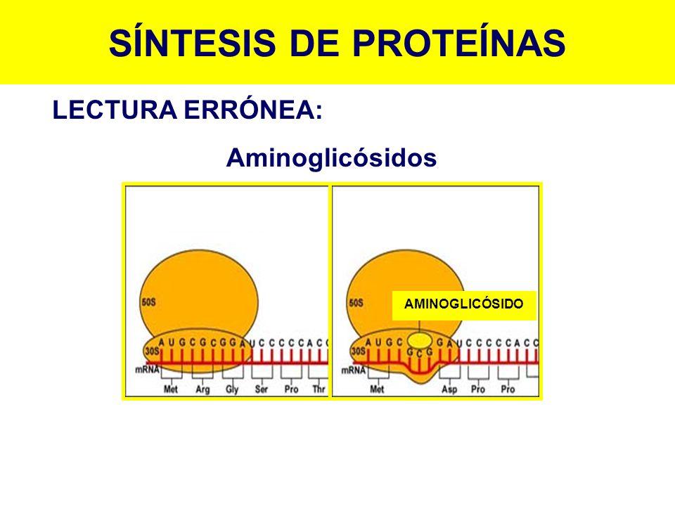 SÍNTESIS DE PROTEÍNAS LECTURA ERRÓNEA: Aminoglicósidos AMINOGLICÓSIDO
