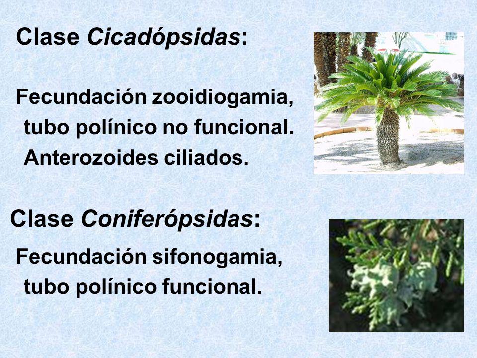 Clase Coniferópsidas: