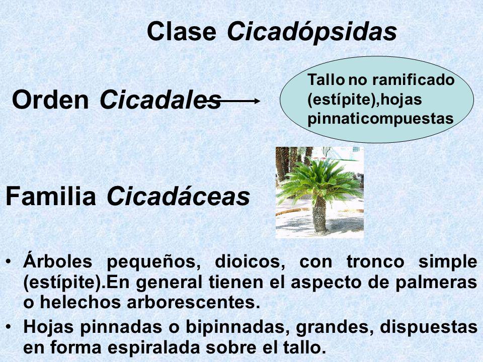 Clase Cicadópsidas Familia Cicadáceas