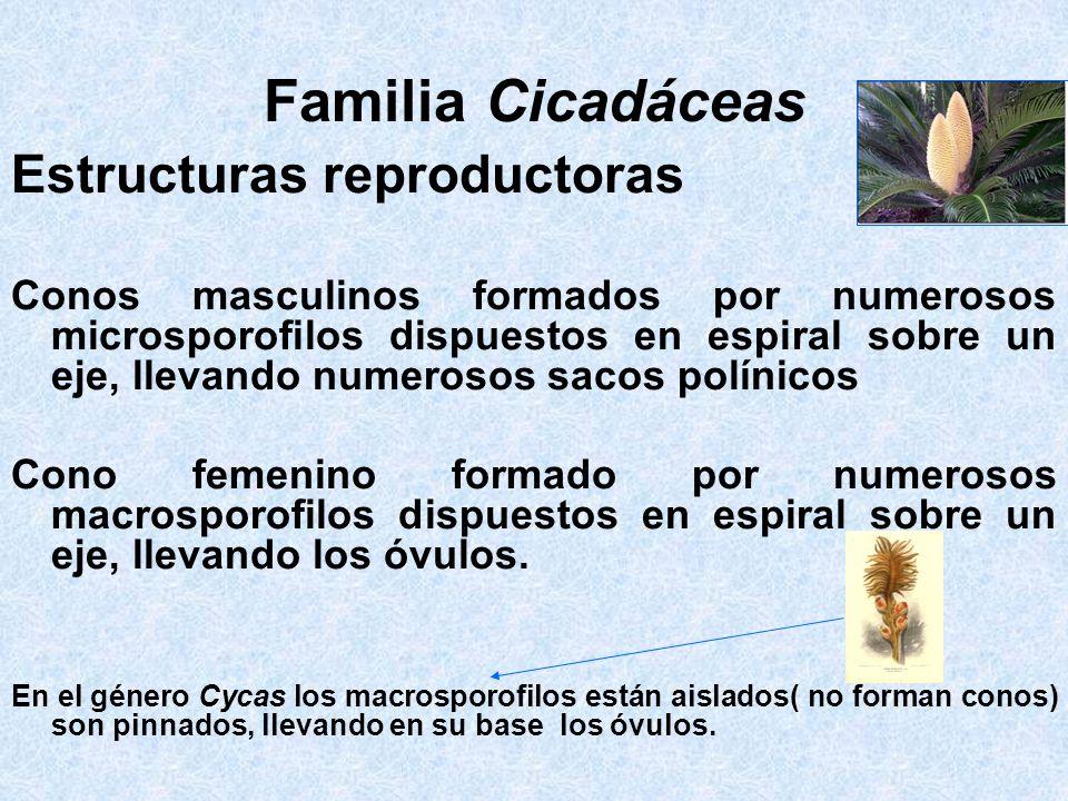 Familia Cicadáceas Estructuras reproductoras