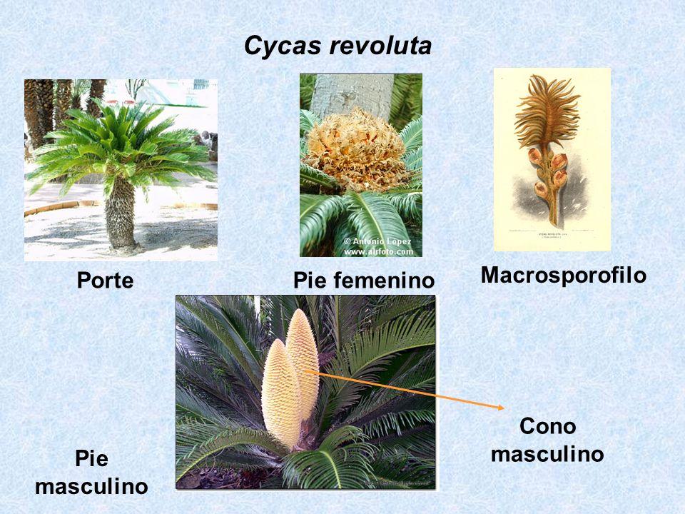 Cycas revoluta Macrosporofilo Porte Pie femenino Cono masculino