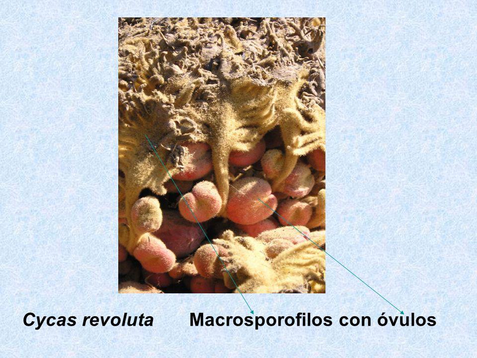 Cycas revoluta Macrosporofilos con óvulos