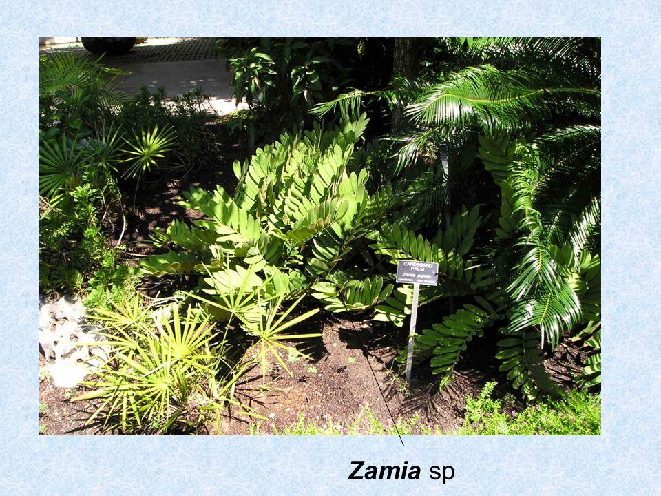 Zamia sp