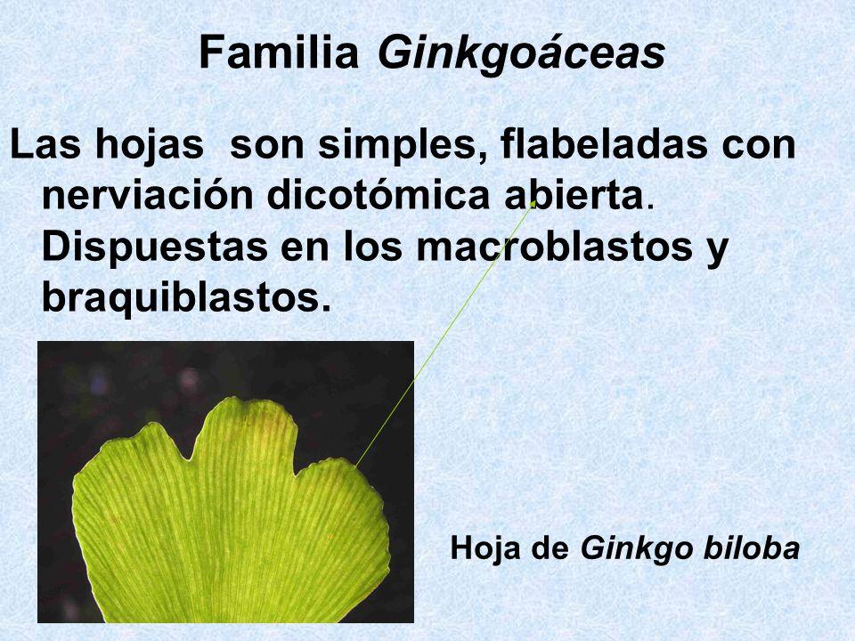 Familia GinkgoáceasLas hojas son simples, flabeladas con nerviación dicotómica abierta. Dispuestas en los macroblastos y braquiblastos.