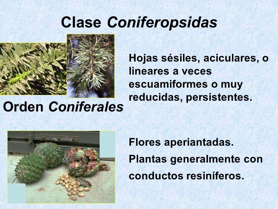Clase Coniferopsidas Orden Coniferales