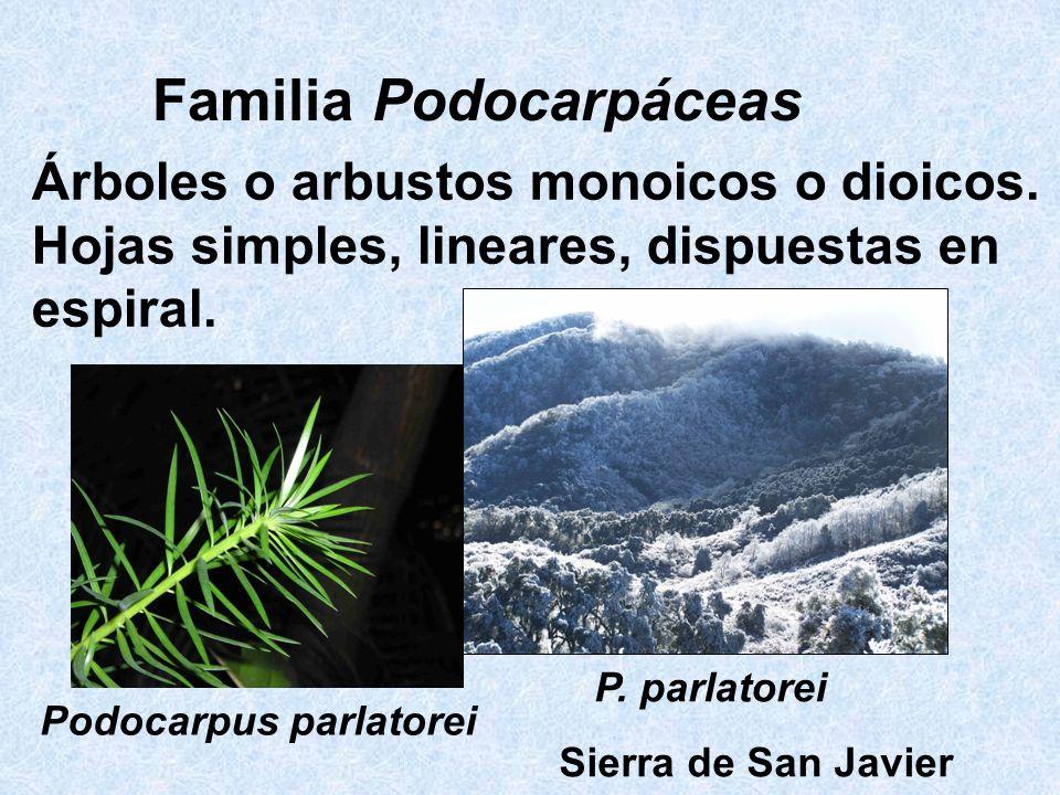 Familia Podocarpáceas