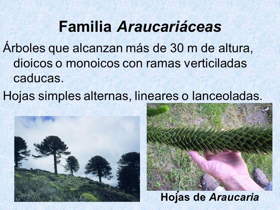 Familia Araucariáceas