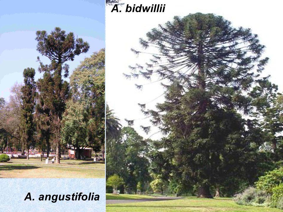 A. bidwillii A. angustifolia