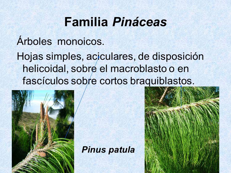 Familia Pináceas Árboles monoicos.