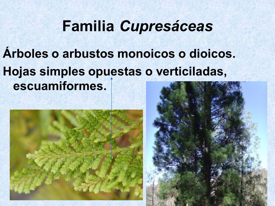 Familia Cupresáceas Árboles o arbustos monoicos o dioicos.