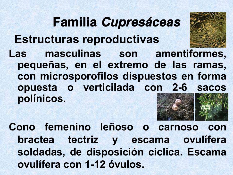 Familia Cupresáceas Familia Cupresáceas