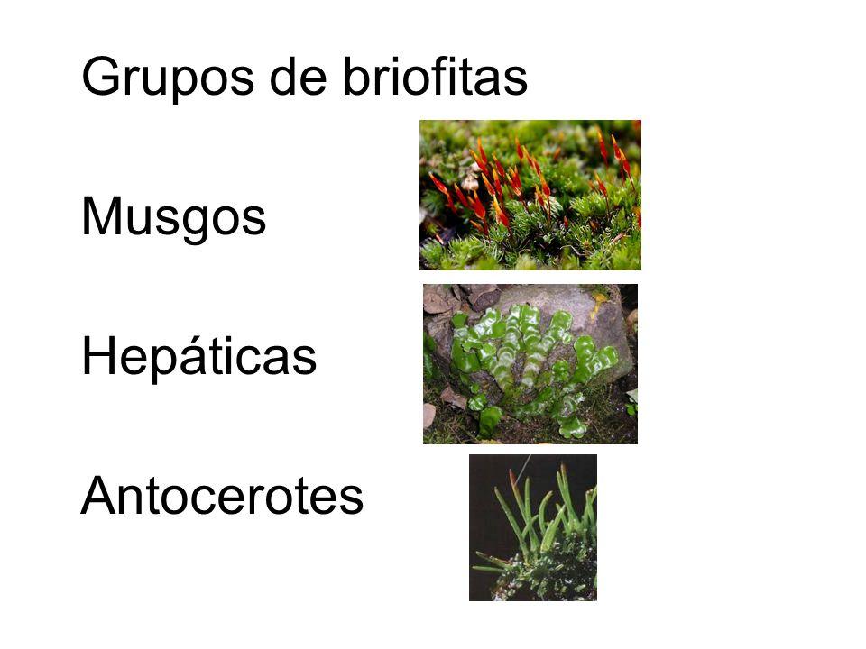 Grupos de briofitas Musgos Hepáticas Antocerotes