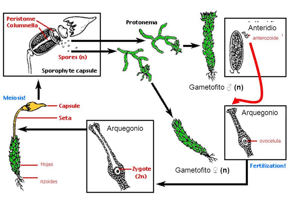 Anteridio Gametofito ♂ (n) Arquegonio Arquegonio Gametofito ♀ (n)