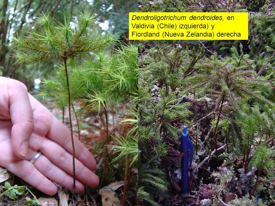 Dendroligotrichum dendroides, en Valdivia (Chile) izquierda) y Fiordland (Nueva Zelandia) derecha