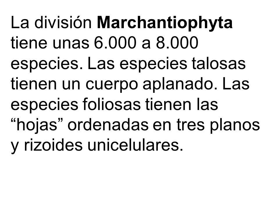 La división Marchantiophyta tiene unas 6. 000 a 8. 000 especies