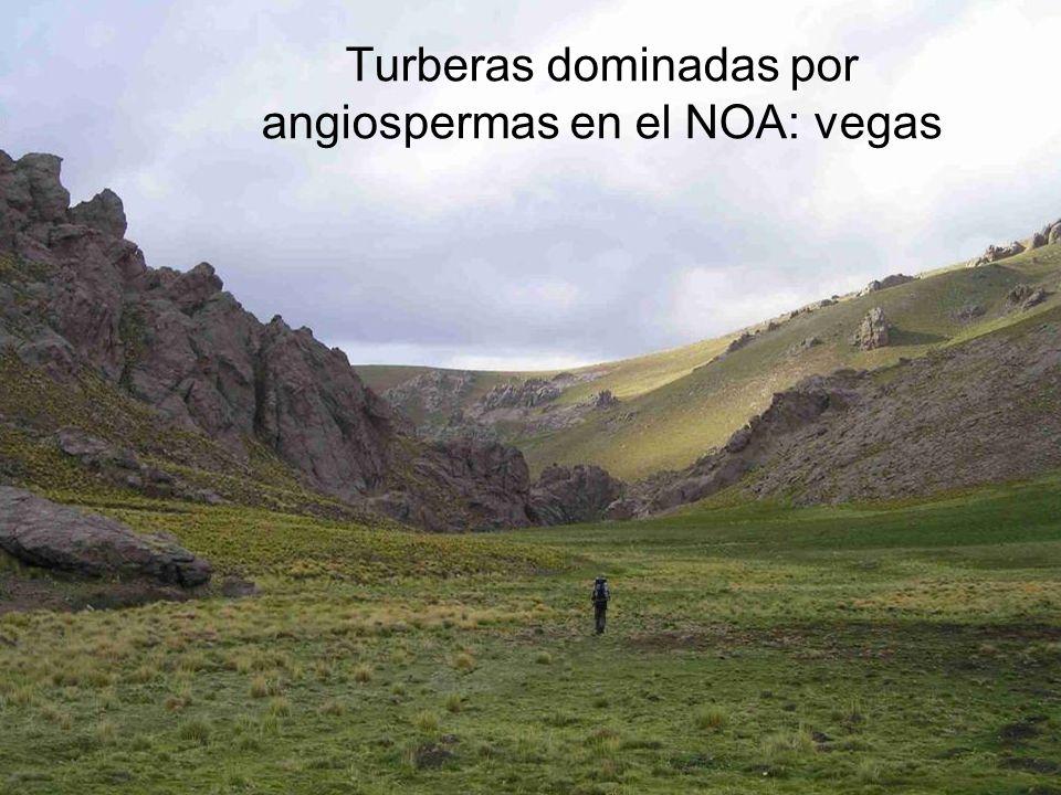 Turberas dominadas por angiospermas en el NOA: vegas