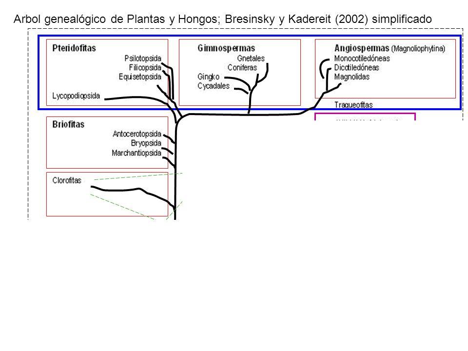 Arbol genealógico de Plantas y Hongos; Bresinsky y Kadereit (2002) simplificado