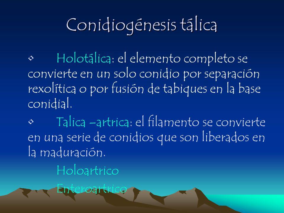 Conidiogénesis tálica