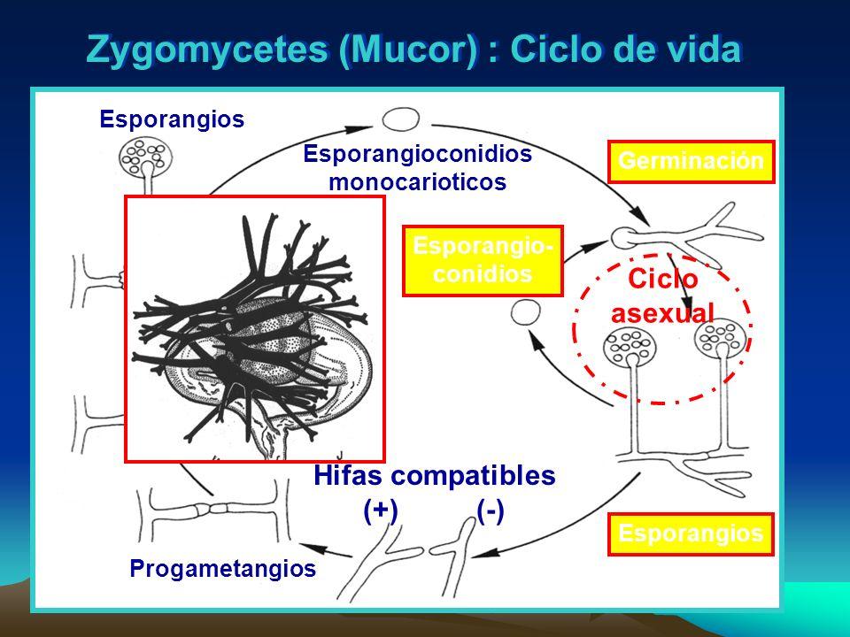 Zygomycetes (Mucor) : Ciclo de vida