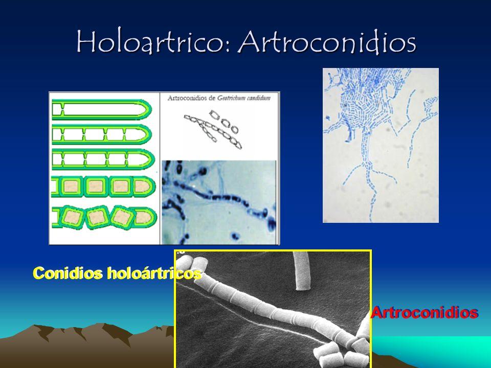 Holoartrico: Artroconidios