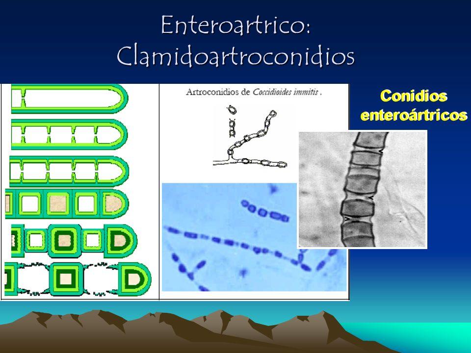 Enteroartrico: Clamidoartroconidios