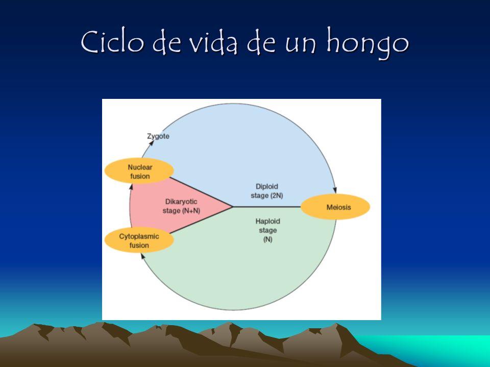 Ciclo de vida de un hongo