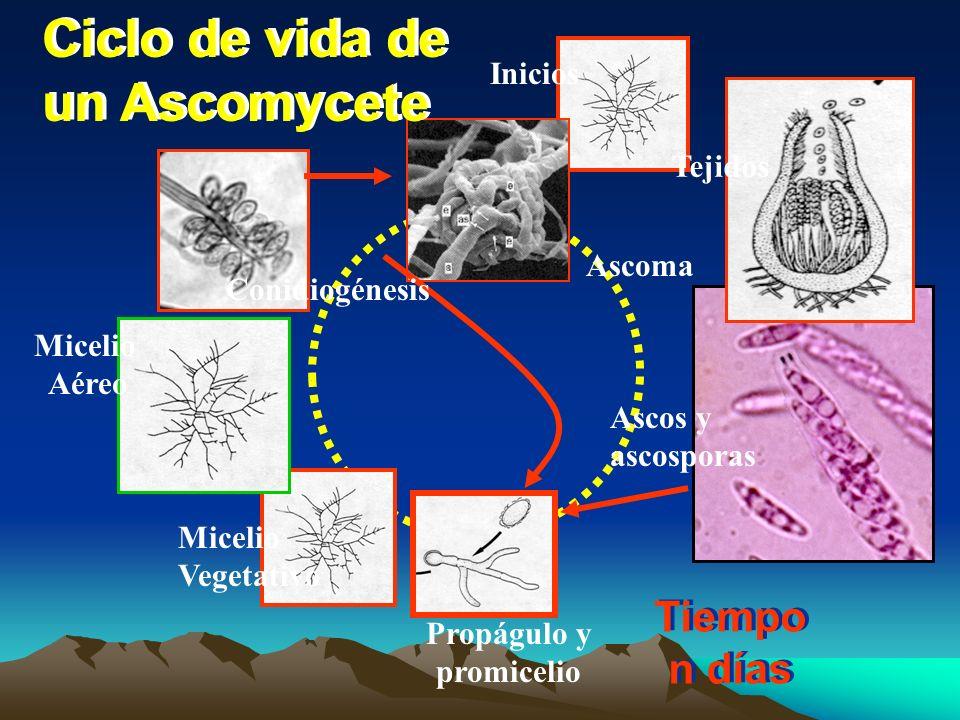Ciclo de vida de un Ascomycete Tiempo n días Inicios Tejidos Ascoma