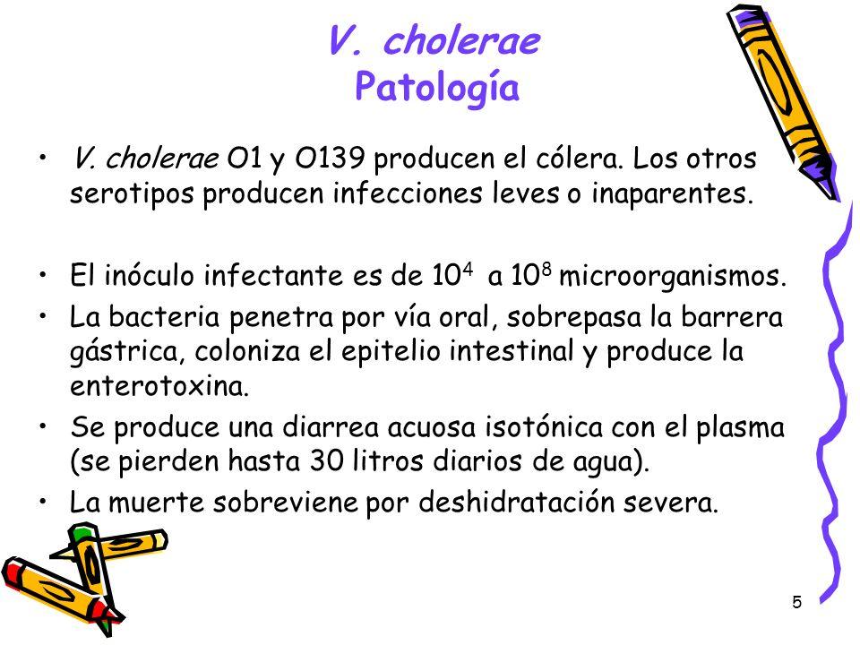 V. cholerae PatologíaV. cholerae O1 y O139 producen el cólera. Los otros serotipos producen infecciones leves o inaparentes.