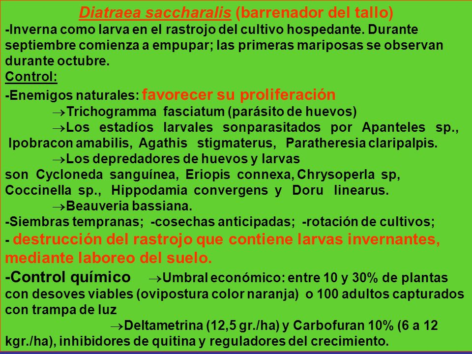 Diatraea saccharalis (barrenador del tallo)