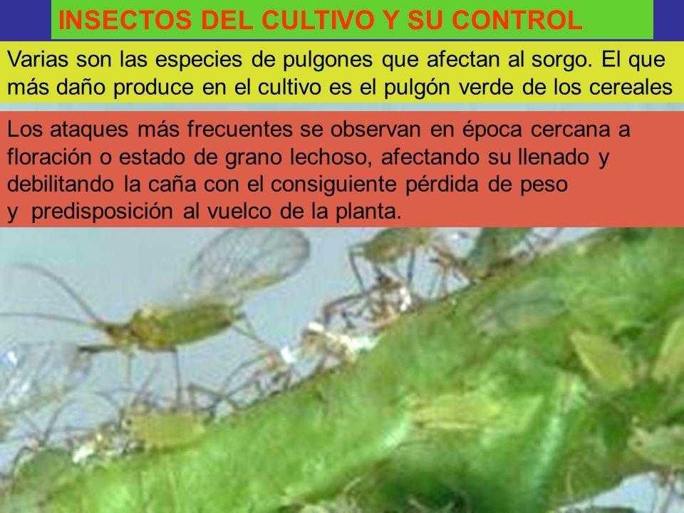 INSECTOS DEL CULTIVO Y SU CONTROL
