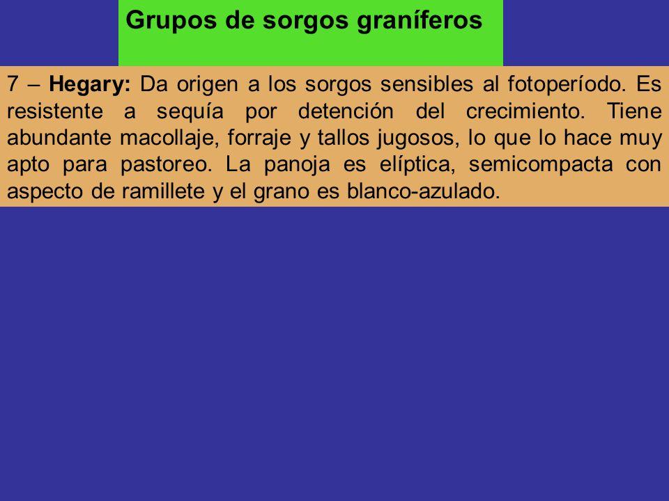 Grupos de sorgos graníferos