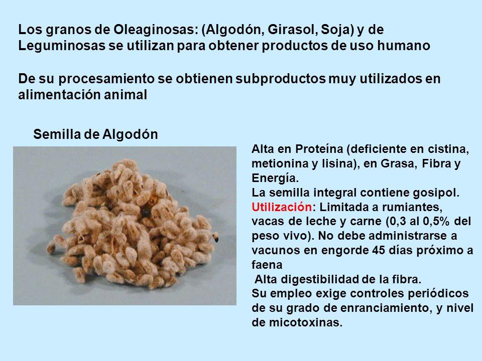 Los granos de Oleaginosas: (Algodón, Girasol, Soja) y de Leguminosas se utilizan para obtener productos de uso humano