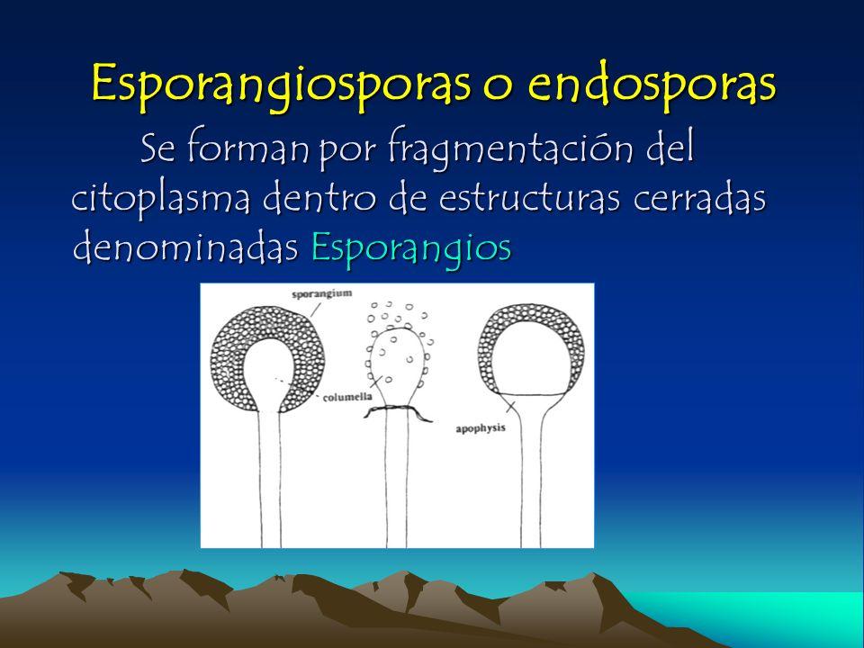 Esporangiosporas o endosporas