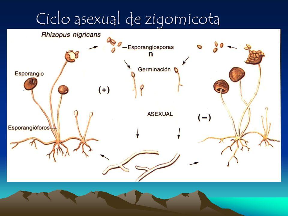 Ciclo asexual de zigomicota