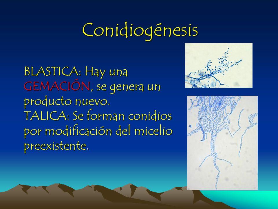 Conidiogénesis BLASTICA: Hay una GEMACIÓN, se genera un producto nuevo.