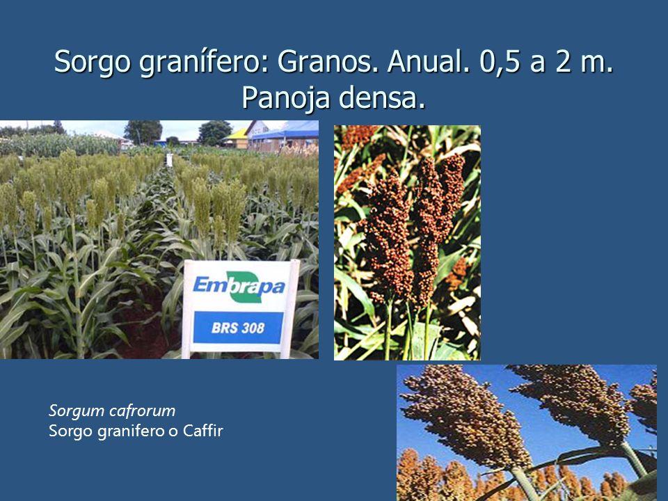 Sorgo granífero: Granos. Anual. 0,5 a 2 m. Panoja densa.