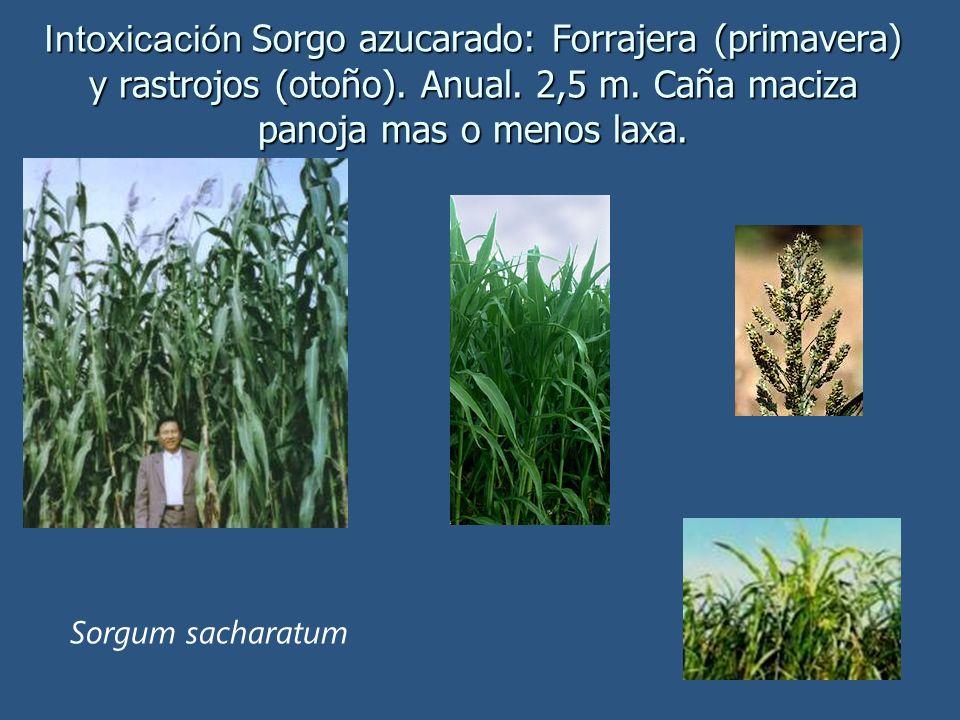 Intoxicación Sorgo azucarado: Forrajera (primavera) y rastrojos (otoño). Anual. 2,5 m. Caña maciza panoja mas o menos laxa.
