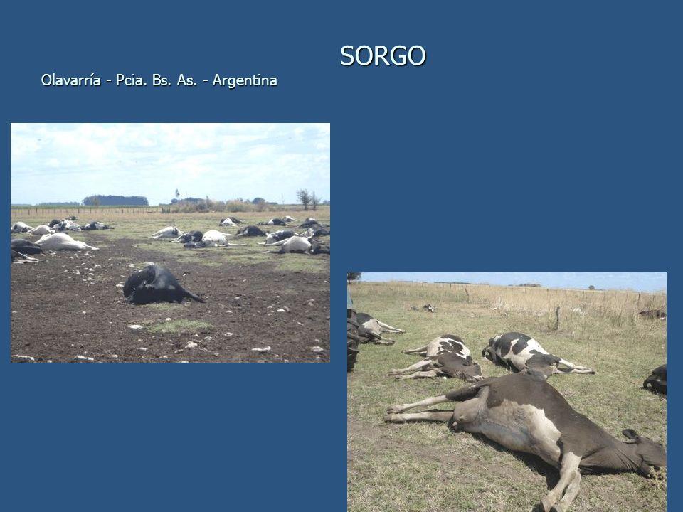 SORGO Olavarría - Pcia. Bs. As. - Argentina