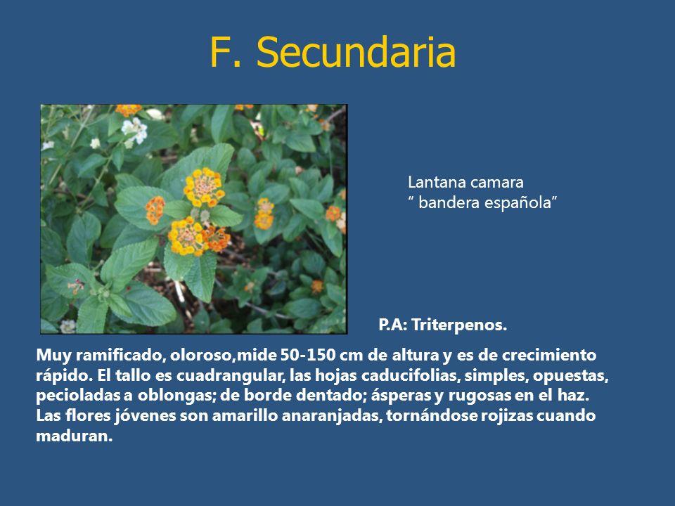 F. Secundaria Lantana camara bandera española P.A: Triterpenos.