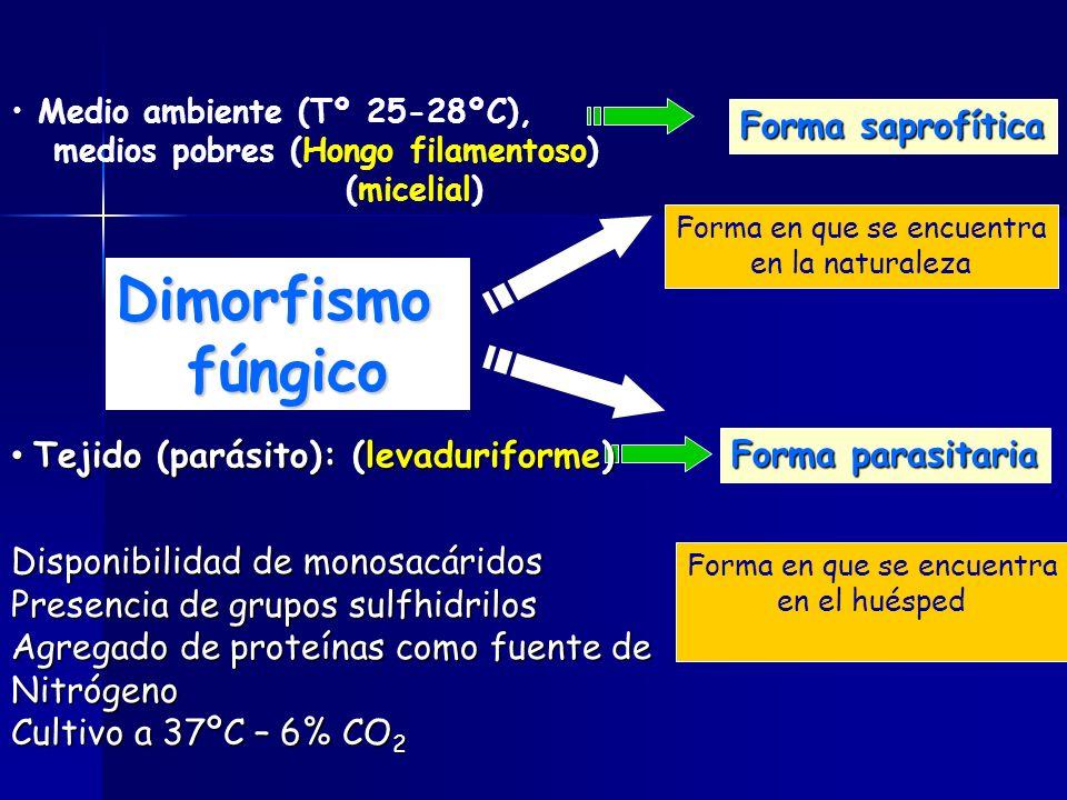 Dimorfismo fúngico Forma saprofítica