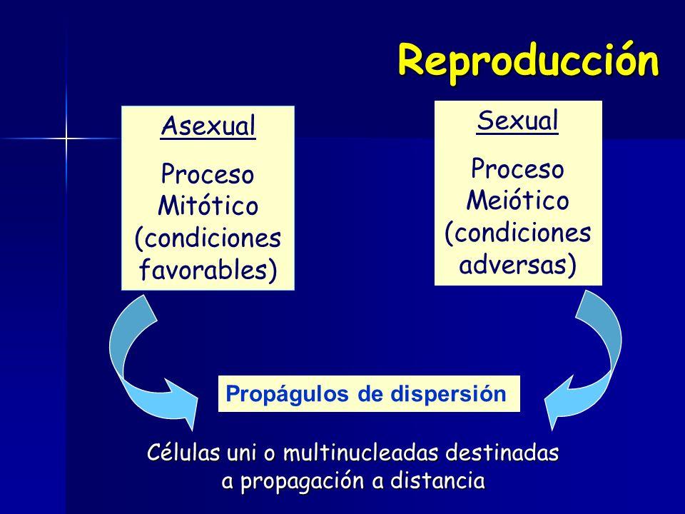 Reproducción Sexual Asexual Proceso Meiótico (condiciones adversas)