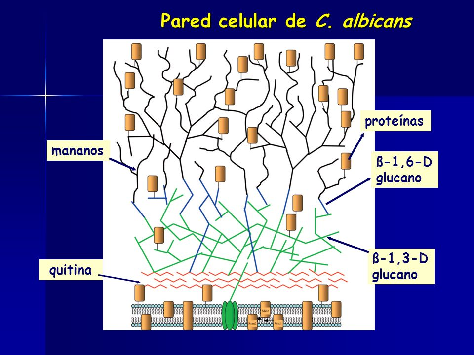 Pared celular de C. albicans