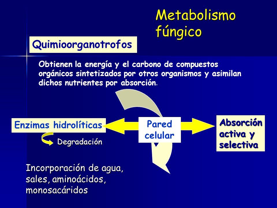Metabolismo fúngico Quimioorganotrofos Absorción Enzimas hidrolíticas