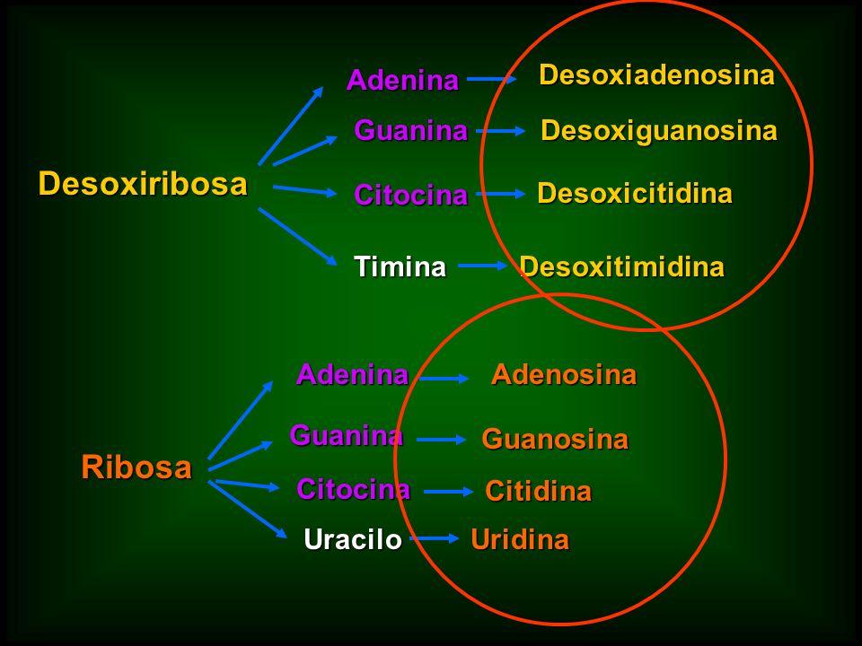 Desoxiribosa Ribosa Adenina Desoxiadenosina Guanina Desoxiguanosina