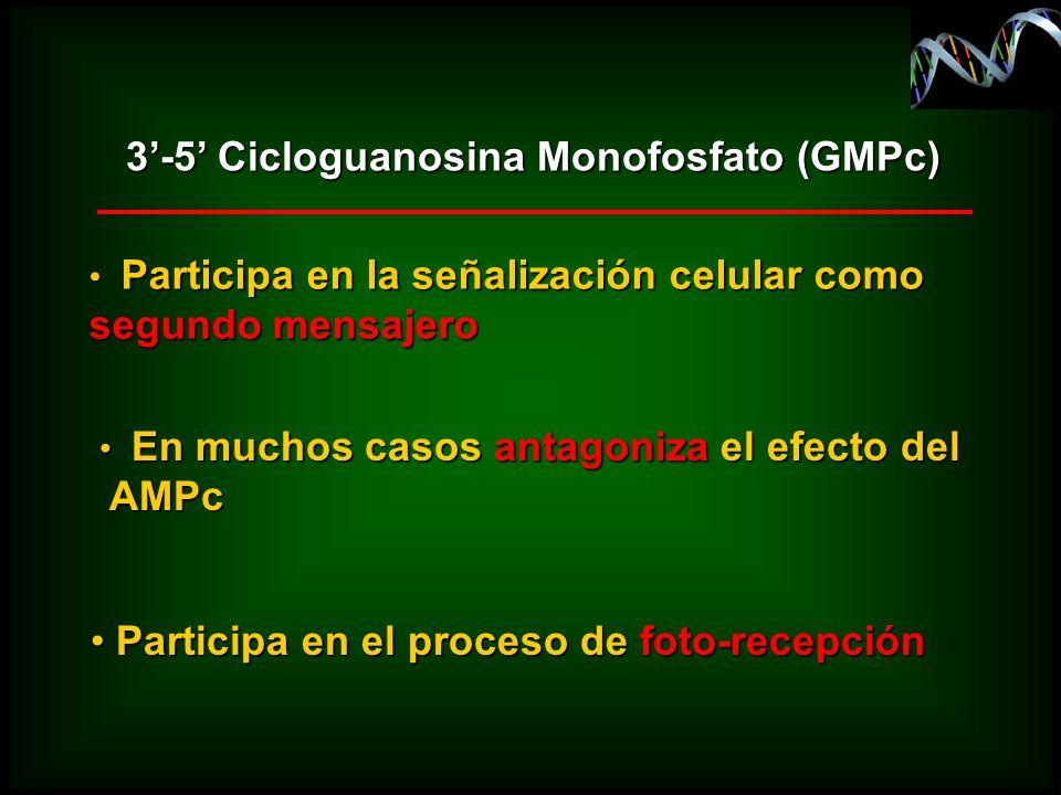 3'-5' Cicloguanosina Monofosfato (GMPc)