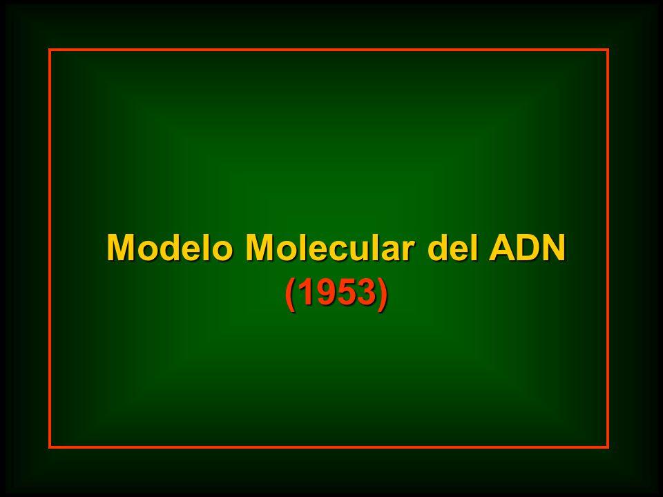 Modelo Molecular del ADN